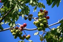 Sterculiafoetidaträd i trädgård Royaltyfri Bild