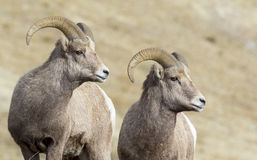 Stereo bighorn sheep rams preparing for rut this autumn in the s Stock Photography