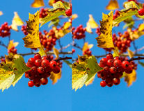 Stereo pair - hawthorn Stock Images
