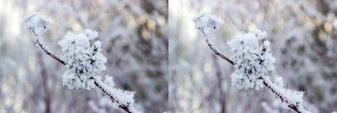 Stereo- par - Physocarpus opulifolius royaltyfria bilder