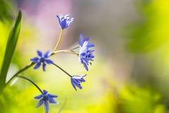 Sterhyacint de Vroege, scille de Deux-feuille, bifolia de Scilla images libres de droits