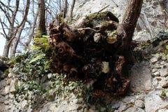 Sterke boomwortels die uit steenmuur voortkomen stock afbeelding