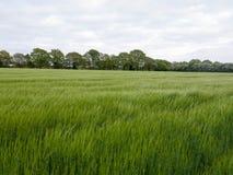 Sterke drank over hoogste gebied van gewas en gras buiten op gebied Royalty-vrije Stock Afbeelding
