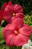 Sterke Hibiscus (moscheutos van de Hibiscus) 8 Royalty-vrije Stock Afbeeldingen