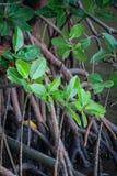 Sterke kleine mangroven Royalty-vrije Stock Foto's