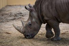 Sterke rinoceros Royalty-vrije Stock Afbeelding