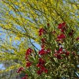 Sterke Rode Oleander Stock Foto's