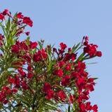 Sterke Rode Oleander Royalty-vrije Stock Afbeelding