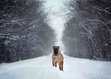 Sterke Shar Pei-tribune in een de winterbos stock foto