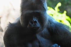 Sterke Volwassen Zwarte Gorilla Royalty-vrije Stock Fotografie