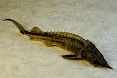 Sterlet рыба семьи стерляжины, еды деликатеса стоковая фотография