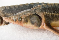 The sterlet fish Stock Images