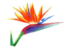 Sterlitzia,天堂鸟 额嘴装饰飞行例证图象其纸部分燕子水彩 库存图片