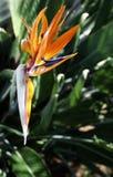 Sterlitzia. Reginae, bird of paradise, Hawaii, Maui Stock Photo
