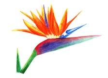 Sterlitzia, ptak raj beak dekoracyjnego latającego ilustracyjnego wizerunek swój papierowa kawałka dymówki akwarela Obrazy Stock