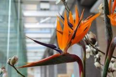 Sterlizia,异乎寻常的热带花 库存照片