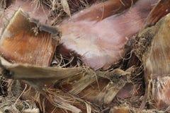 Sterm del árbol de Plam Fotografía de archivo