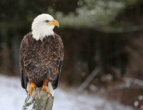 Stern Bald Eagle Stock Photo