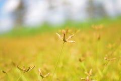 Stern blüht goldene Felder Stockbild