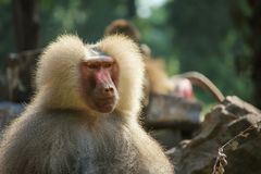 Stern, calm, Mantle Baboon ape with a lot of empty background royalty free stock images