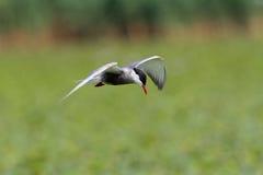 Stern die met bakkebaarden tijdens de vlucht… boven chilikameer vliegen, Orissa royalty-vrije stock foto's