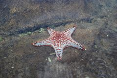 Stern-Fische Stockfoto