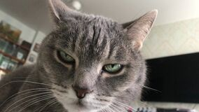 A stern gray cat looks down disdainfully at its sleeping master