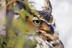 Stern Great Horned Owl predator perched in a tree partially hidd Stock Photo