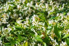 Stern-Jasmine Trachelospermum-jasminoides, die in einem allgemeinen Garten, Kalifornien blühen lizenzfreie stockfotos