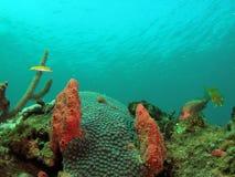 Stern-Koralle lizenzfreie stockbilder