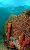 Stern-Koralle Lizenzfreies Stockbild