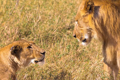 Stern look of lion. Kenya. Africa Royalty Free Stock Photos