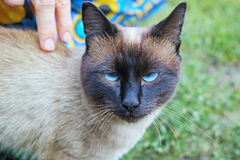 Stern look Siamese cat Royalty Free Stock Images