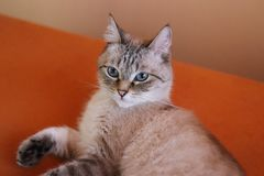 Portrait of a young light beige cat resting at home. The fluffy pet. stock photos