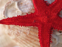 Stern Seashell Lizenzfreies Stockfoto