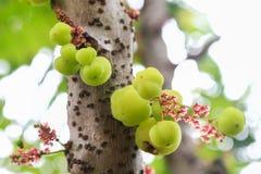Stern-Stachelbeere auf Baum stockfotografie