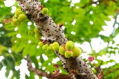 Stern-Stachelbeere auf Baum lizenzfreie stockbilder