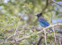 Stern`` stelleri s Jay Cyanocitta in Rocky Mountain National Park in Colorado stockbild