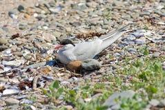 Sterna Artic sul nido Fotografia Stock