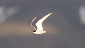 Sterna artica in volo, uguagliando sole Immagini Stock