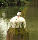 Sterna comune che si siede sul fascio al disopra della superficie Fotografie Stock Libere da Diritti