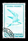 Sterna comune (hirundo) degli sterni, serie degli uccelli acquatici, circa 1991 Fotografia Stock