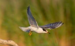 Sterna comune - hirundo degli sterni - uccello giovanile Fotografie Stock Libere da Diritti