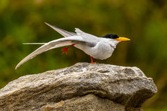 Sterna del fiume che sta su una gamba (yoga dell'uccello) Immagine Stock Libera da Diritti