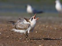 Sterna Gull-billed fotografia stock libera da diritti