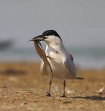 Sterna Gull-billed fotografie stock libere da diritti