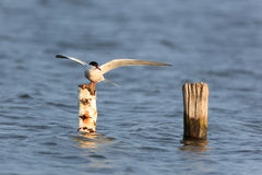 Sterna hirundo, Common Tern. Royalty Free Stock Photography