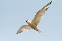 Sterna hirundo over the blue sky Royalty Free Stock Photo