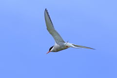 Sterna paradisaea. The Arctic tern against the blue sky Royalty Free Stock Images