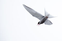Sterna paradisaea, Arctic Tern Royalty Free Stock Photography